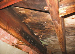 Extensive crawl space rot damage growing in [city]