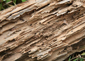 Termite-damaged wood showing rotting galleries outside of a [city] home